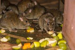 Matning tjaller i den Karni Mata templet Arkivbilder