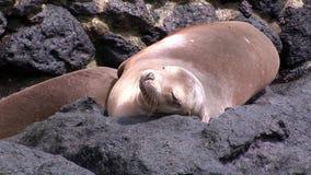 Matningar för lejon för moderpälsskyddsremsa behandla som ett barn den sugande spenen med mjölkar på stranden Galapagos arkivfilmer
