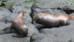 Matningar för lejon för moderpälsskyddsremsa behandla som ett barn den sugande spenen med mjölkar på stranden Galapagos lager videofilmer