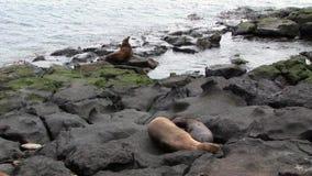 Matningar för lejon för moderpälsskyddsremsa behandla som ett barn den sugande spenen med mjölkar på stranden Galapagos stock video