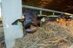 Matningsmat till att äta för svart buffel halmtäcker royaltyfria bilder