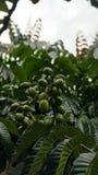 Matoa frukt från Indonesien Arkivfoto