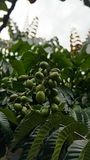 Matoa owoc od Indonezja Zdjęcie Stock