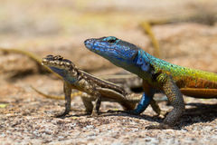 Matobo lizards Stock Photo