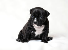Matones del americano del perrito Foto de archivo