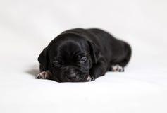Matones del americano del perrito Imagenes de archivo