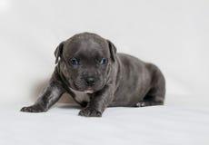 Matones del americano del perrito Fotografía de archivo