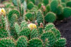 Matorral de los cactus del higo chumbo Imágenes de archivo libres de regalías