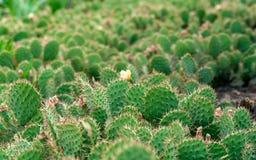 Matorral de los cactus del higo chumbo Foto de archivo libre de regalías
