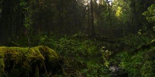 Matorral sombrío del bosque Fotografía de archivo