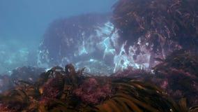 Matorrales de la hierba marrón, alga marina en el fondo marino almacen de metraje de vídeo