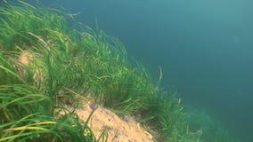 Matorrales de la hierba verde, alga marina en el fondo marino metrajes