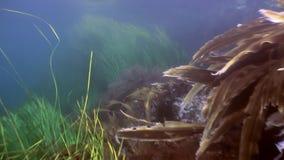 Matorrales de la hierba verde, alga marina en el fondo marino almacen de metraje de vídeo