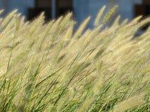 Matorrales de las hierbas decorativas del cereal Fotos de archivo libres de regalías
