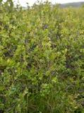 Matorrales de un abedul enano Betula Nana L Península de cola Fotografía de archivo