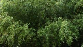 Matorrales del bambú en el parque metrajes
