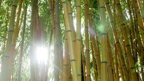Matorrales del bambú verde contra almacen de metraje de vídeo