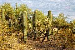 Matorrales del cactus en parque nacional de Saguaro en la puesta del sol, Arizona del sudeste, Estados Unidos fotografía de archivo libre de regalías