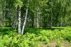 Matorrales del helecho en la madera de abedul, verano Foto de archivo libre de regalías