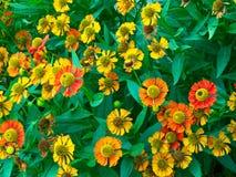 Matorrales densos de margaritas coloreadas. Foto de archivo