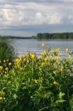 Matorrales enormes del acris del ranúnculo, derramados con las porciones de flores bastante amarillas fotos de archivo