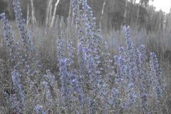 Matorrales plantas del bugloss del ` s de la víbora de las altas con muchas flores o del azul Fotos de archivo libres de regalías
