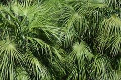 Matorrales verdes de la palma Imagen de archivo libre de regalías