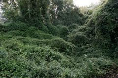 Matorrales verdes de las plantas de la hiedra foto de archivo