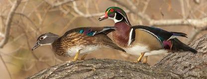 Matować Drewniane kaczki obraz royalty free