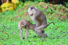 Matować małpy Zdjęcia Stock
