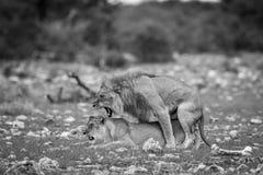 Matować parę lwy w czarny i biały Zdjęcia Stock