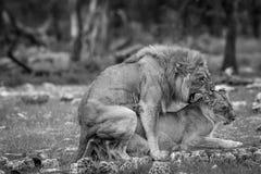 Matować parę lwy w czarny i biały Fotografia Royalty Free