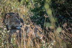Matować parę lwy w długiej trawie Obraz Stock