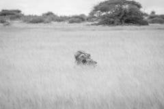 Matować pary lwy w czarny i biały Obraz Stock