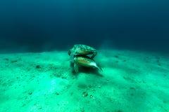 Matować zielonych żółwie w Czerwonym morzu Fotografia Stock