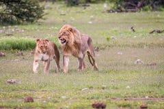 Matować pary lwy chodzi w trawie Fotografia Royalty Free