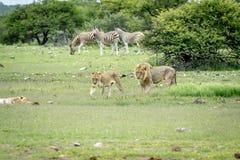 Matować pary lwy chodzi w trawie Zdjęcie Royalty Free