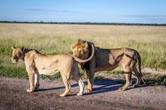 Matować pary lwy stoi na drodze Zdjęcie Royalty Free