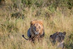 Matować pary lwy stoi w trawie Zdjęcie Royalty Free