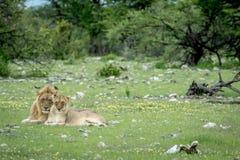 Matować pary lwy w trawie Obraz Stock