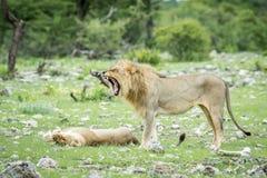 Matować pary lwy w trawie Zdjęcie Royalty Free