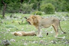Matować pary lwy w trawie Fotografia Royalty Free