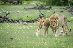 Matować pary lwy w trawie Zdjęcia Stock
