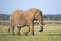 Matriach African elephant with tusks Royalty Free Stock Image