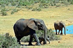 Matriarca dell'elefante e vitello neonato Fotografia Stock Libera da Diritti
