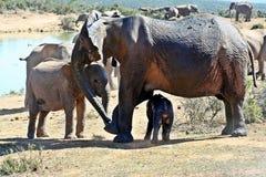 Matriarca dell'elefante e vitello neonato Fotografie Stock