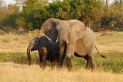 Matriarch Afrykański słoń Prowadzi sposób fotografia royalty free