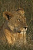 Matriarch of the Mara Royalty Free Stock Images
