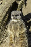 Matriarch meerkat Royalty Free Stock Image