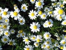 Matricaria chamomilla. Fotografia Stock Libera da Diritti